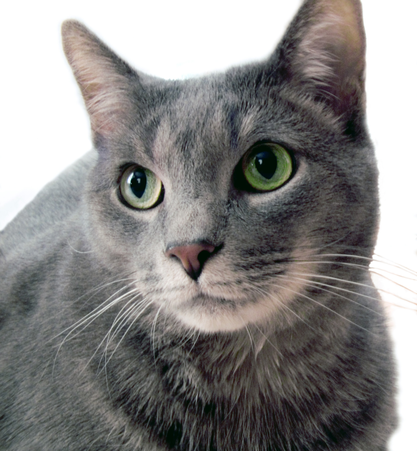 Smashwords – Russian Blue Cats As Pets Personality Care Habitat