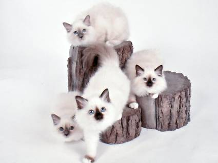Smashwords Birman Cats The Owners Guide From Kitten To Old Age